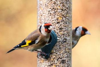 goldfinches eating seeds