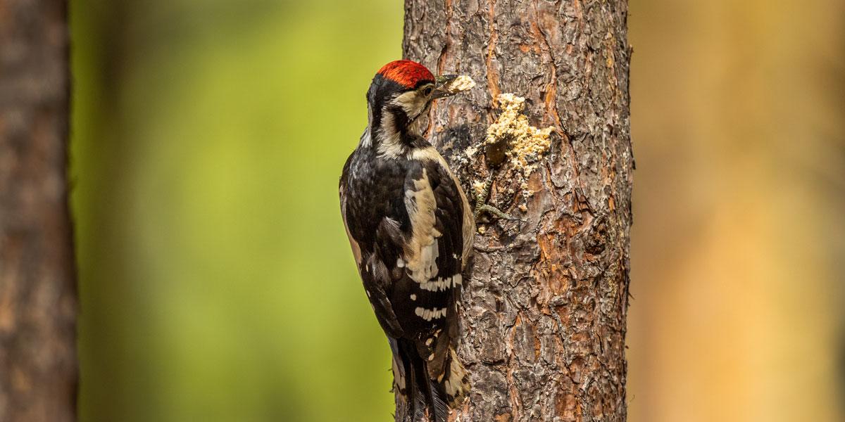 Woodpecker on suet feeder