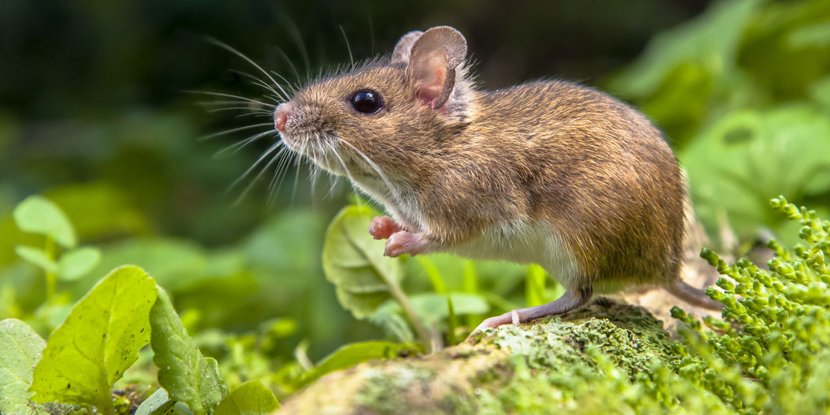 Wood mouse in the garden